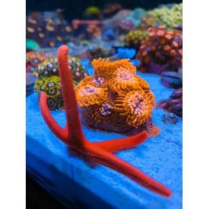 Combo de corais