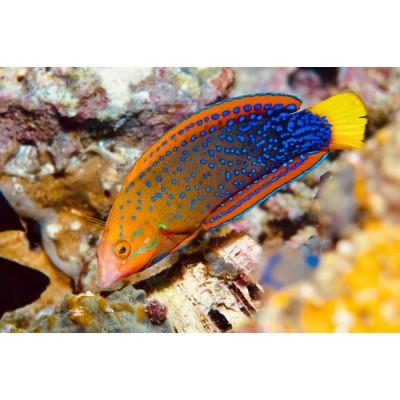 Peixes Red Coris
