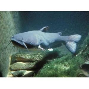 Peixes Cat Fish