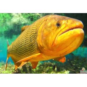 Peixes Dourado