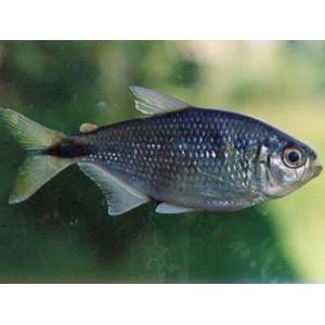 Peixes Lambari