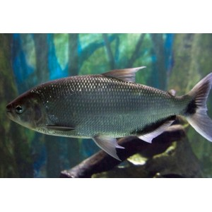 Peixes Matrinchã
