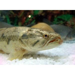 Peixes Traíra