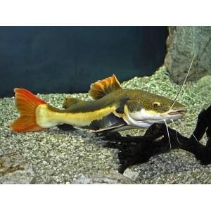 Peixes Pirarara