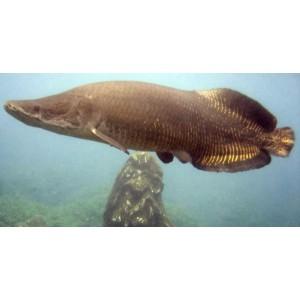 Peixes Pirarucu