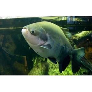 Peixes Tambaqui