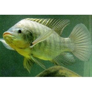 Peixes Tilápia Nilótica