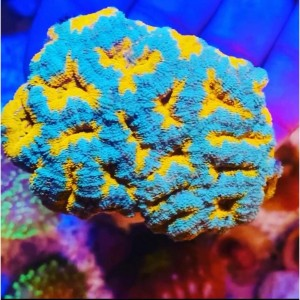 Coral Acanthastrea