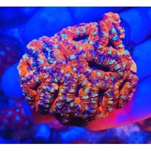 Coral Acanthastrea Rainbow