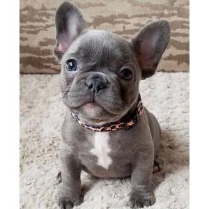 Cão Raça Buldogue Francês