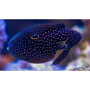 Peixes Betta Marine