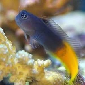 Peixes  Bicolor Blenny