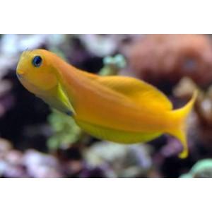 Peixes Blenny Midas