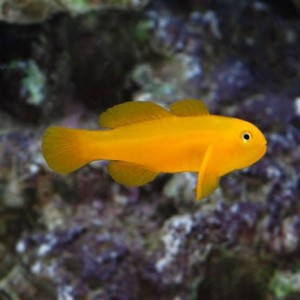 Peixes GOBY CORAL YELLOW