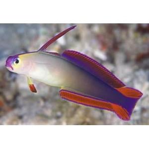Peixes  PURPLE FIREFISH