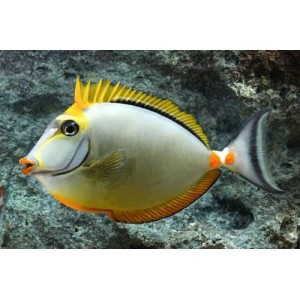 Peixes Tang Naso Blond