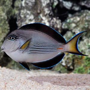 Peixes Tang Sohal