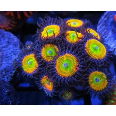 Coral Palythoa Sunny Yellow 13 bocas
