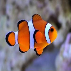 Peixes Palhaço Ocellaris (P)