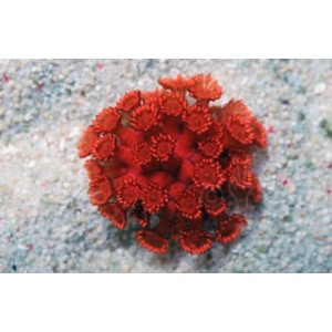 Coral Goniopora Red