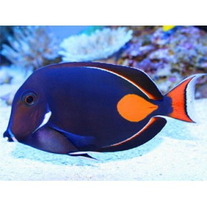 Peixes Achiles Tang (M)
