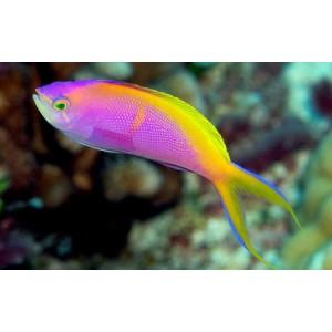 Peixes Anthia Bartlett's