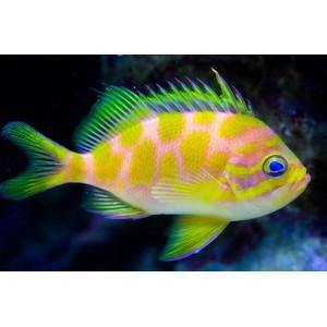 Peixes Anthia de Borbounis (m)