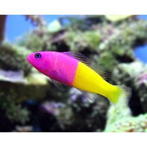 Peixes Bicolor Dottyback (M)