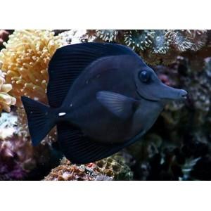 peixes black tang