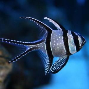 Peixes cardinal Banggai (P)