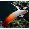 Peixes Fire Fish Grande