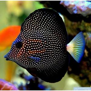 peixes gemmatum tang