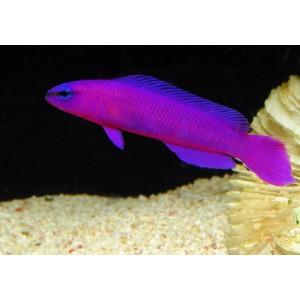 Peixes Pseudochromis Fridmani (M)