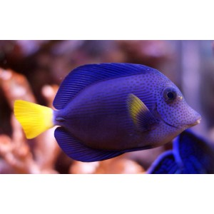 peixes purple tang (M)