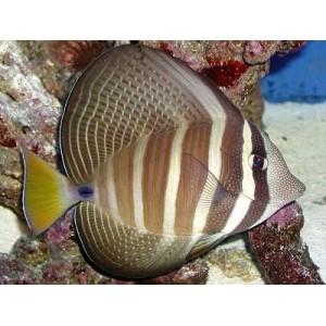 Peixes Sailfin Tang (G)