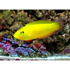 Peixes Yellow Coris (M)