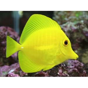 peixes yellow tang (M)