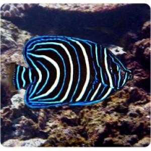 peixes SEMICIRCULATUS JUVENIL