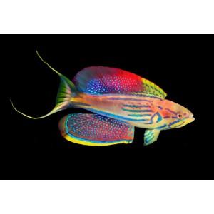 Peixe Paracheilinus hemitaeniatus (Super Raro)