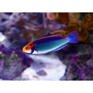 Peixes Solorensis Wrasse