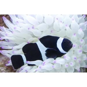 PEIXE  Ocellaris Black
