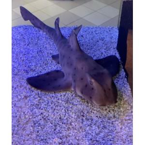Tubarão Horn -50 cm