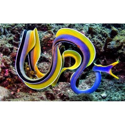 Peixe Enguia Blue Ribbon