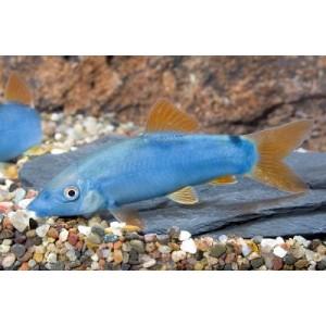 Peixe Botia Blue Red Tail