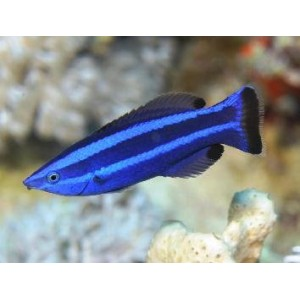 Peixes Four Line Cleaner Wrasse
