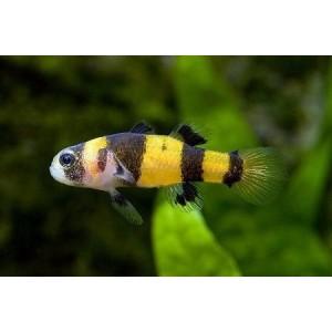 peixe Abelhinha Bumblebee Goby