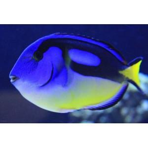 Peixe TANG BLUE YELLOW BELLY