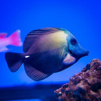 Peixe Aberrant Scopas Tang