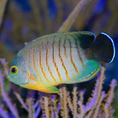 Peixes Mimic Eibli Tang