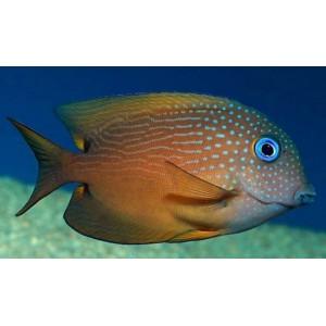 Peixes Blue Eye Kole Tang